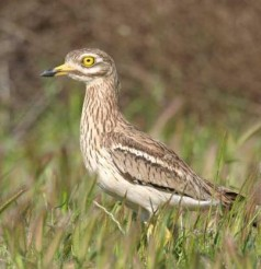 Mystery solved - The European Stone Curlew