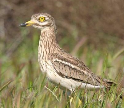 Mystery solved – The European Stone Curlew